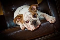 English bulldog, Old World Shaving Parlor Bulldog Red Bank New Jers…
