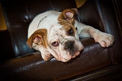 English bulldog, Old World Shaving Parlor Bulldog Red Bank New Jers…