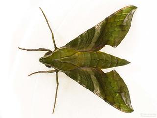 Pluto Sphinx Moth