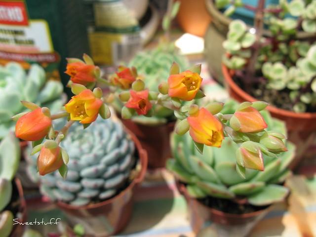 Echeveria 'Dondo' blooms