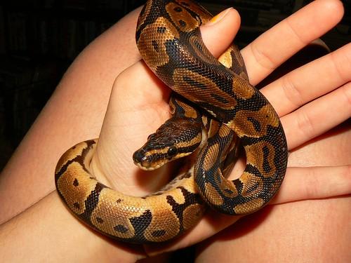 snake pets all about snake world snake tattoo design. Black Bedroom Furniture Sets. Home Design Ideas