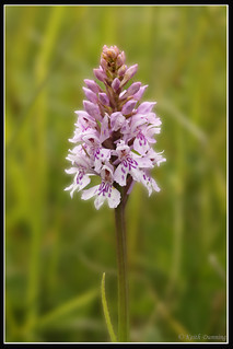 Common Spotted Orchid (1568)