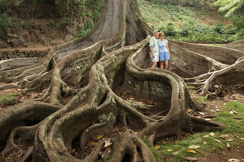 Giant Fig Tree Roots, 2 of 3