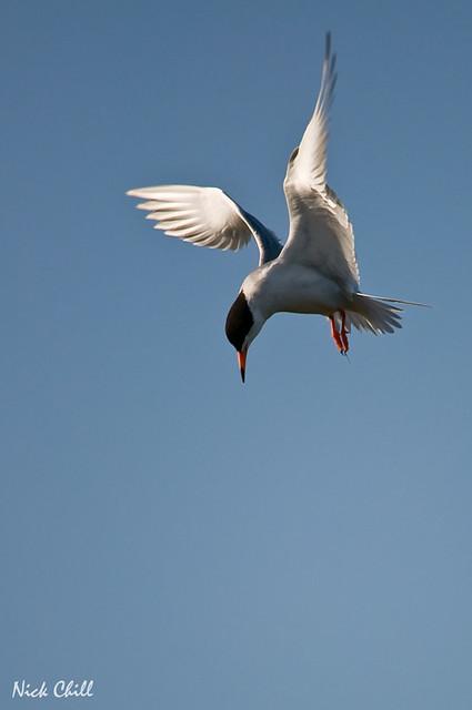 Wings of a Tern