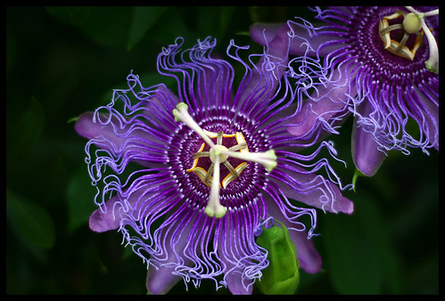 Passion Flower (Passiflora Incarnata) aka Maypop by Robert D Bruce, on Flickr