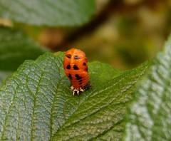 arthropod, animal, ladybird, leaf, invertebrate, insect, macro photography, fauna, close-up,