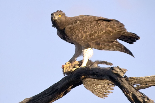 Martial eagle with guineafowl prey. - a photo on Flickriver