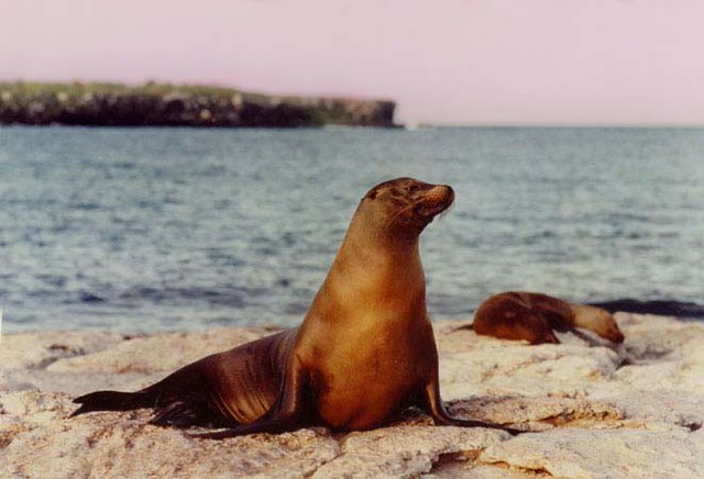 Sea lion in the Galapagos; Ecuador (1997)
