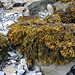 Channeled Wrack - Photo (c) Shandchem, some rights reserved (CC BY)