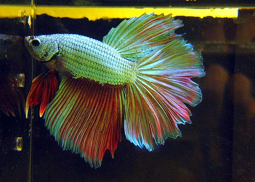 What is a dragonscale betta fish and betta fish care for Dragon scale betta fish