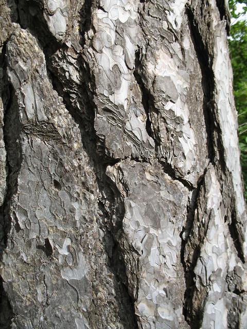 Corteza de pino laricio flickr photo sharing - Corteza de pino ...