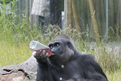 chimpanzee(0.0), common chimpanzee(0.0), old world monkey(0.0), animal(1.0), western gorilla(1.0), monkey(1.0), mammal(1.0), great ape(1.0), gorilla(1.0), fauna(1.0), ape(1.0), wildlife(1.0),