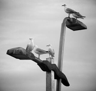 Imagen de Dee Why Beach cerca de Dee Why. bw bird animal wildlife seagull sydney australia places equipment newsouthwales techniques deewhy deewhybeach canonpowershots5is