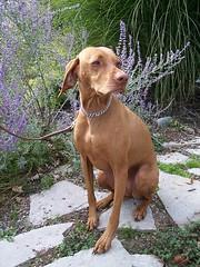 dog breed, animal, dog, pet, weimaraner, hunting dog, carnivoran, vizsla,