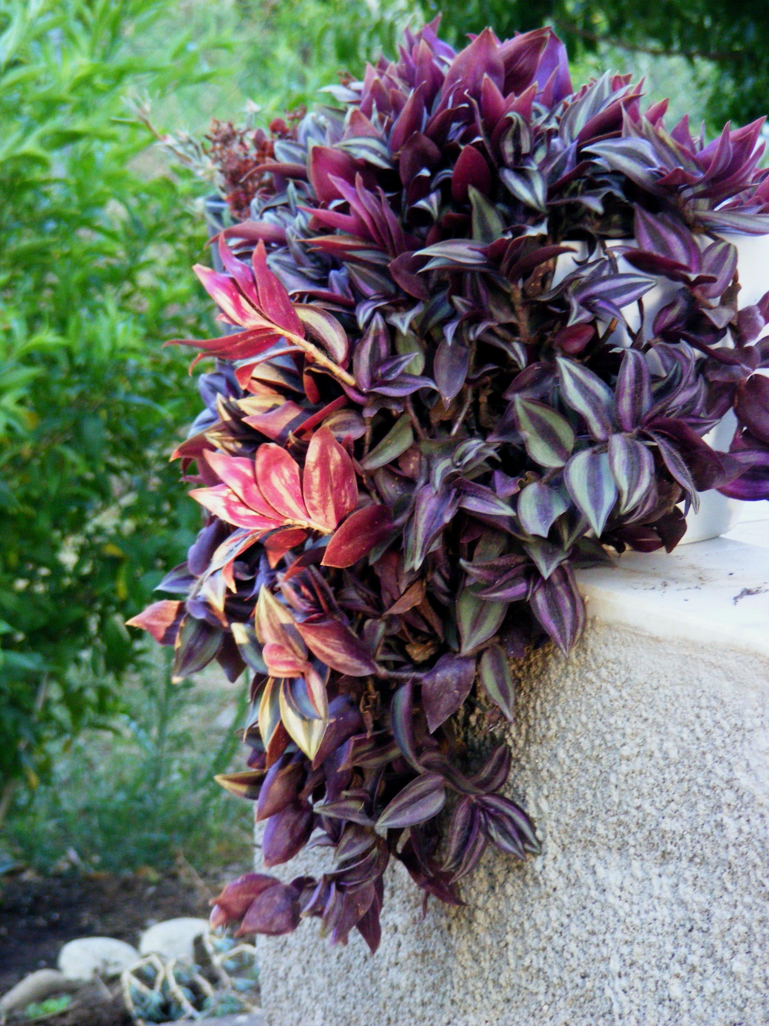 Plantas crasas de exterior trendy affordable aeonium for Cactus cuidados exterior