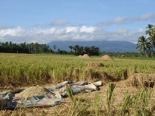 rural landscape rice farm philippines harvest