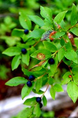 ripe huckleberries    MG 0192