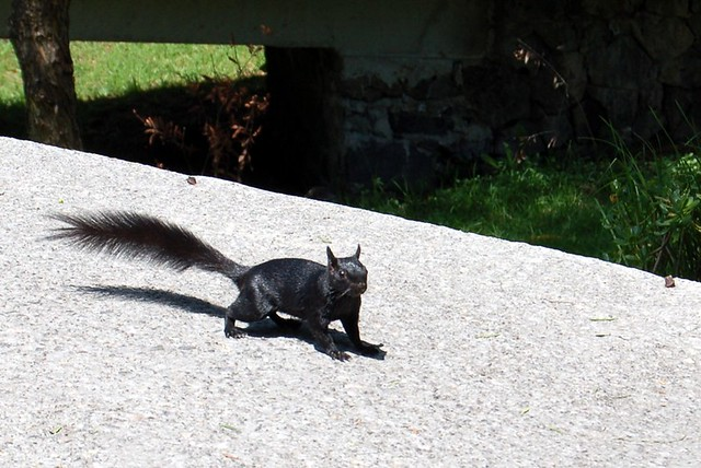 Black Squirrel on UNAM Campus