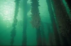 algae, seaweed, macrocystis pyrifera, sunlight, macrocystis, green, underwater, kelp,