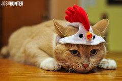 No Cats Here. Just a Chicken... With Ears