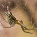 Basilica Orbweaver - Photo (c) Cletus Lee, some rights reserved (CC BY-NC-ND)