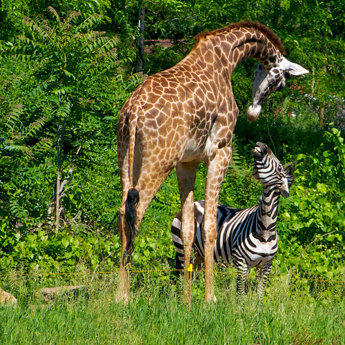 friends nature animals topf75 day pittsburgh unitedstates outdoor pennsylvania explore zebra giraffe myfave storytime 1000views pittsburghzooppgaquarium fave20 aplusphoto ef100300mmf4556usm naturewatcher unlikelyanimalfriends