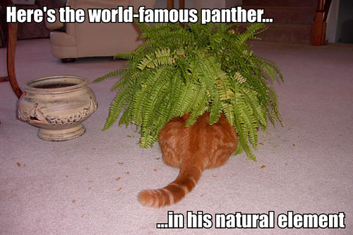 Here's the world-famous panther... in his natural element