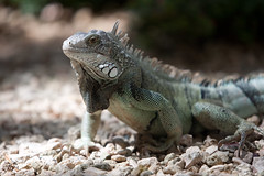 animal, reptile, lizard, fauna, close-up, iguana, agamidae, scaled reptile, wildlife,