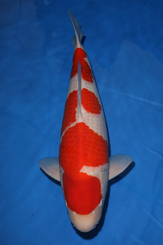 All japan young koi show koi fish care info for Koi fish care