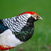 Small photo of Lady Amherst's Pheasant