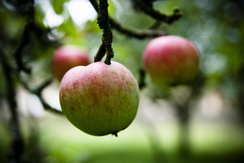 First of the Orchard Cottage Apples