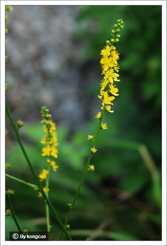 北京阳台山的常见野花-蔷薇科龙牙草属龙牙草=仙鹤草
