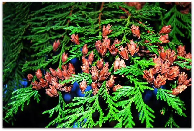 4012716199 3f0e10f232 z jpg zz 1Western Red Cedar Cones