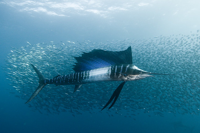 the sardine run #37