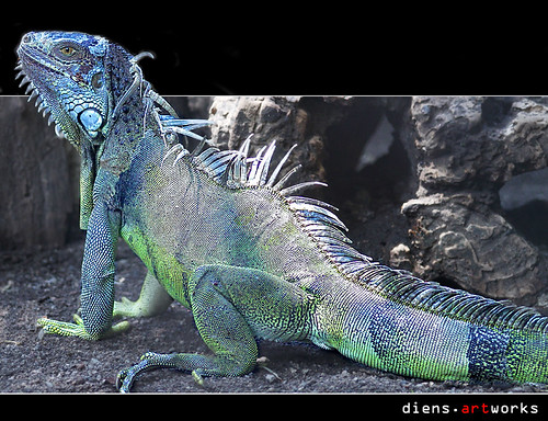 The colors of iguana