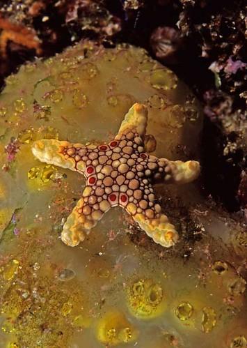 starfish x