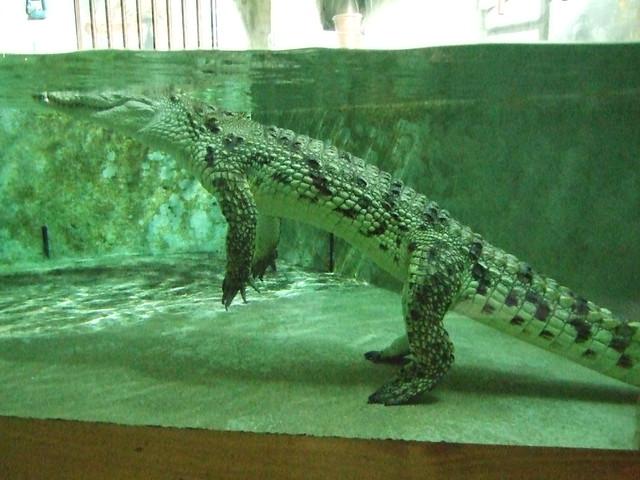 Nile Crocodile, Aquarium de Vannes  Flickr - Photo Sharing!