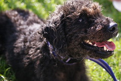 miniature poodle, standard poodle, dog breed, animal, dog, schnoodle, pumi, curly coated retriever, pet, lagotto romagnolo, mammal, irish water spaniel, portuguese water dog, spanish water dog, barbet, american water spaniel,