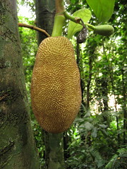 flower(0.0), produce(0.0), tree(1.0), plant(1.0), flora(1.0), artocarpus(1.0), food(1.0), jackfruit(1.0),