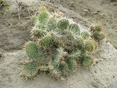 Opuntia polyacantha (Panhandle Prickly Pear) by Arthur Chapman