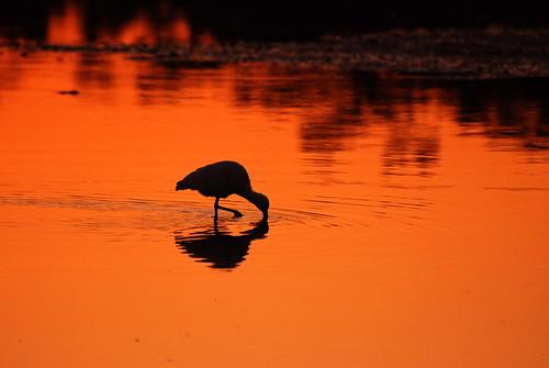morning reflection birds animal silhouette sunrise colorful feeding florida eating sanibelisland whiteibis avian eudocimusalbus wading shallows wadingbird wildbird dingdarlingnwr michaelskelton caloosahatcheechicken michaeldskelton michaeldskeltonphotography