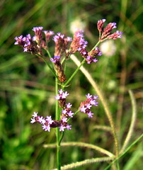 African Vervain
