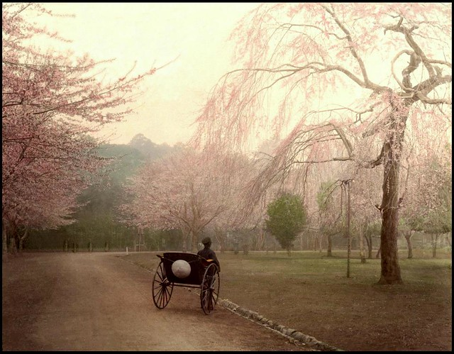THE LONE 'RICKSHAW PULLER STOPS TO LOOK AT THE CHERRY BLOSSOMS IN UENO PARK DURING AN OVERCAST SPRING DAY in OLD TOKYO, JAPAN