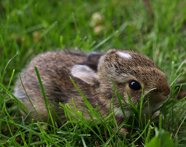 Baby rabbit, in the backyard | Flickr - Photo Sharing!