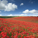 The ultimate poppy field
