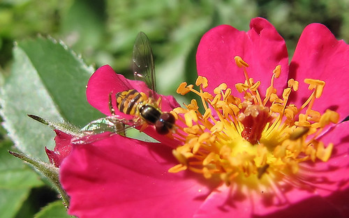 Hoverfly on single rose - closeup