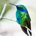 Sparkling Violetear by San Diego Shooter