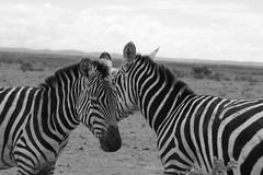 Zebras @ Amboseli