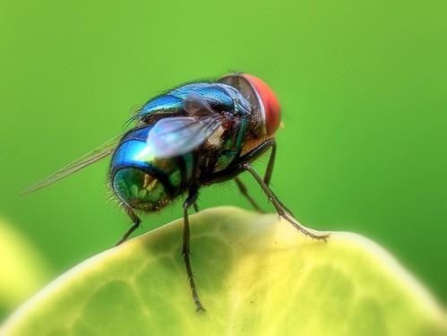 macro animal reflections lumix fly malaysia makro dcr250 raynox macrolicious raynoxdcr250 macromarvels fz28 dmcfz28 ishafizan