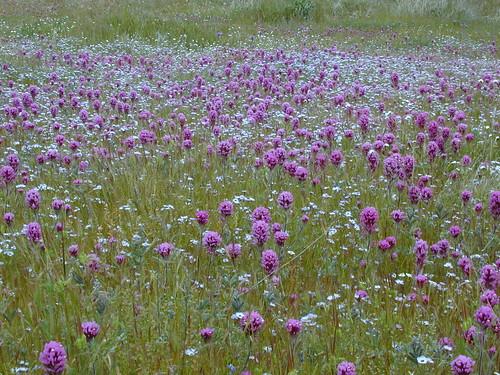 Kernville Wildflowers